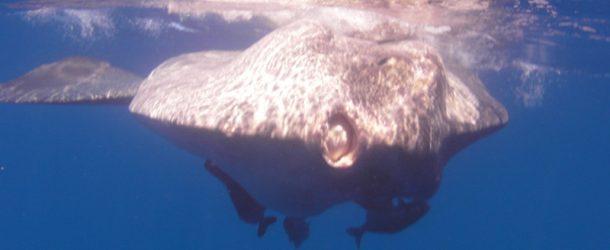 # 179: Watching a Mola Mola head to head