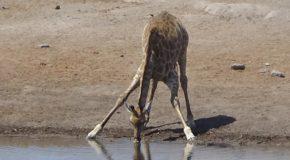 #545 : Learning to drink like a giraffe