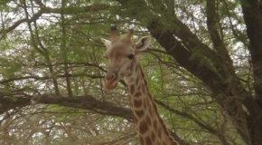 #657 : Observer les girafes sénégalaises à Bandia