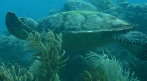 # 19 : Watching different species of Caribbean turtles
