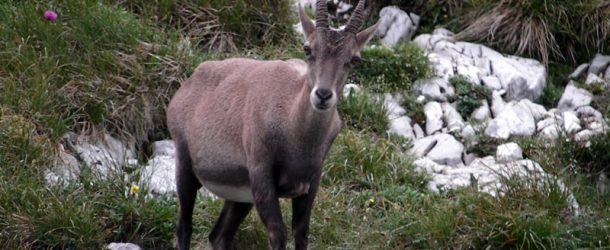 # 67: Meeting chamois, ibex and marmots