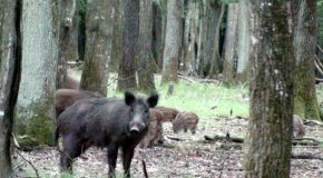 # 75: Rubbing with wild boar in the forest