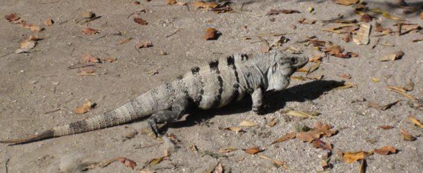 # 133: Watching Maya Iguanas