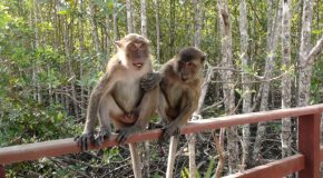 # 124: Sorting the waste with a crabber macaque