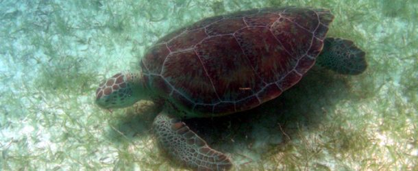 #36 : Snorkeling with the turtles of Akumal in Mexico