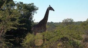 # 161: Watching African giraffes
