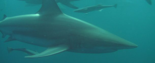 #16 : Diving into a school of blacktip sharks