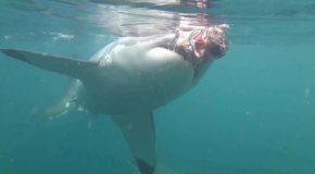 #56 : Se frotter au Grand Requin Blanc