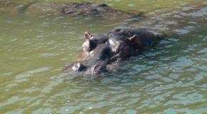 #158 : Rencontrer l'hippopotame, l'animal le plus dangereux d'Afrique