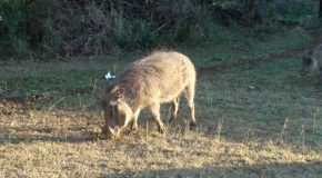 # 162: Grazing with warthogs