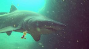 # 150: Diving with ragged tooth sharks