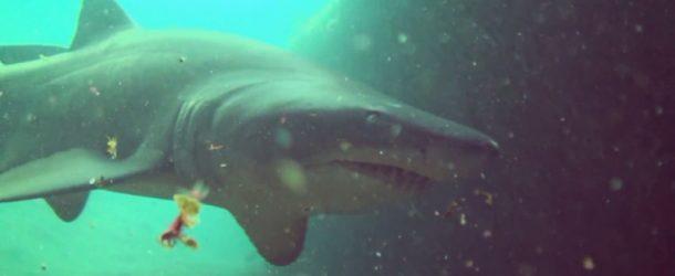 #150 : Plonger avec les requins taureaux