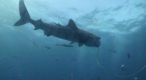 #148 : Plonger avec le requin-tigre sans cage !
