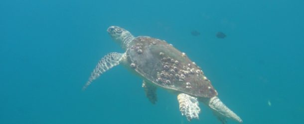 # 156: Diving with the green turtles of Oman