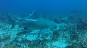 #167 : Plonger avec les requins Bouledogues