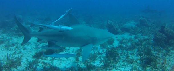 # 167: Diving with Bulldog sharks