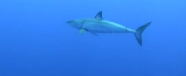 # 168: Diving with Mako Shark
