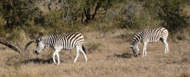 # 170: Hanging out with a band of zebras