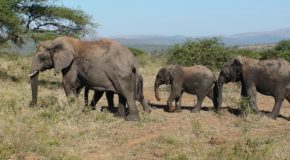 # 175: Watching wild African elephants