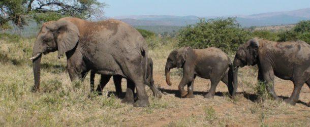 #175 : Observer l'éléphant de savane en Afrique du Sud