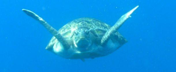 #183 : Plonger avec la tortue imbriquée Thaïs