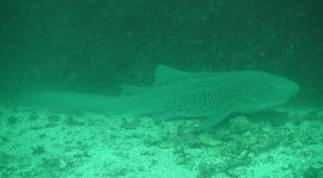 #188 : Plonger avec le requin léopard d'Oman