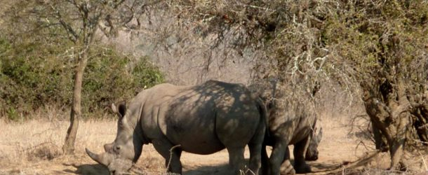 #187 : Watching a white rhino … of grey color !