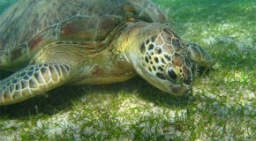 # 186: Diving with African green turtles