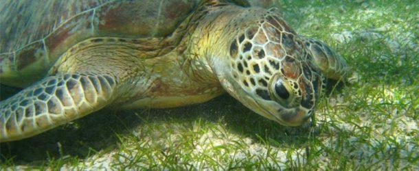 #186 : Plonger avec les tortues vertes d'Afrique