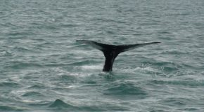 # 217: Whale watching in Iceland