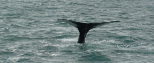 #217 : Observer les baleines d'Islande