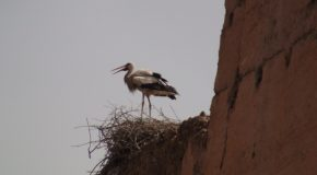 # 277: Watching the storks of Morocco