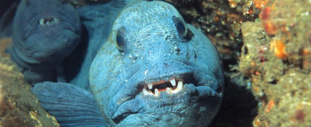 # 283: Observing the Wolffish