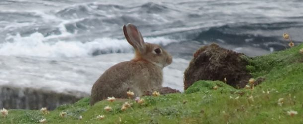 # 331: Observing the rabbits of Marwick Head