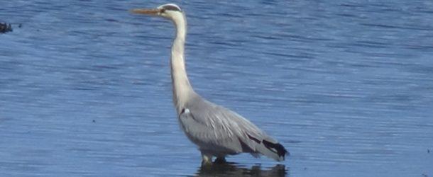 #339 : Admirer les aigles et hérons de l'île de Mull