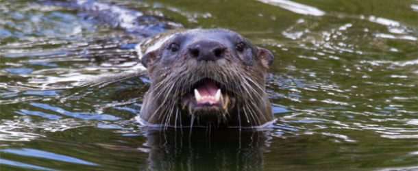 #328 : Observing the otters of the isle of Mull