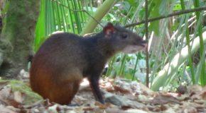 #342 : Observer les agoutis de Guyane