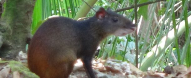 #342: Observing the agoutis of Guyana