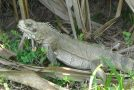 #348 : Se faire fouetter par la queue d'un iguane vert