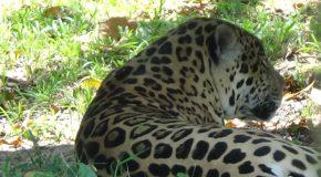 #343 : Observer les jaguars de la savane Guyanaise