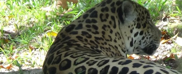 #343: Observing the jaguars of the Guyanese Savannah