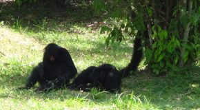 #349: Observing the spider monkeys of Guiana