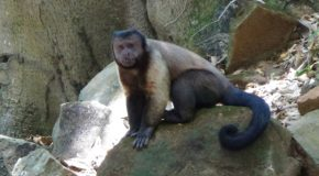 """#350: Observing the intelligence of the """"Brown Capuchin"""" monkey"""