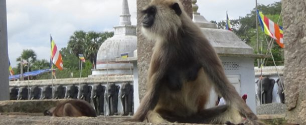 #376: Being attacked by a gray langur monkey of the King Hanuman