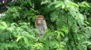 # 375: Meeting the macaques of Ceylon