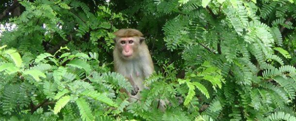 #375 : Rencontrer le macaque à toque de Ceylan