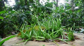 #374 : S'initier à la médecine Ayurvédique au Sri Lanka