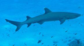 #361: Diving with the whitetip reef shark