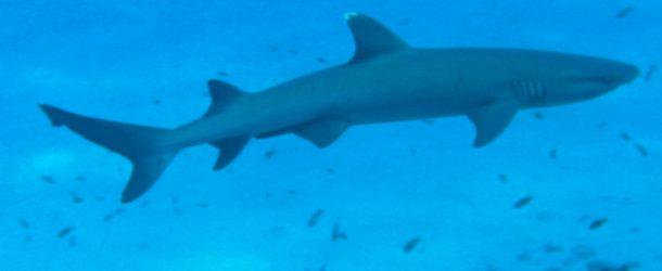#361 : Plonger avec le requin corail aux Maldives