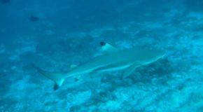 #366 : Plonger avec le requin à pointes noires